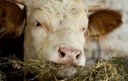 Mucca che mangia fieno Fotografie Stock Libere da Diritti