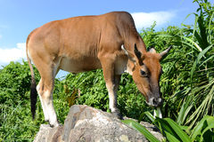 Mucca che mangia nel prato Immagini Stock Libere da Diritti