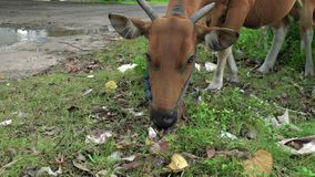 Mucca che mangia in un mucchio di immondizia Scarico della città Concetto di inquinamento, disastro di catastrofe di ecologia stock footage