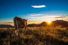 Mucca che mangia in una montagna Fotografia Stock Libera da Diritti