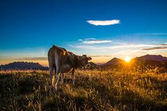 Mucca che mangia in una montagna Fotografie Stock Libere da Diritti