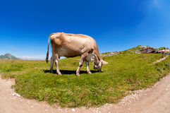 Mucca che pasce Fotografie Stock Libere da Diritti