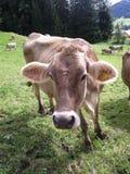 Mucca che pasce Immagine Stock