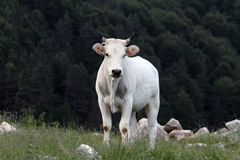 Mucca che pasce Immagine Stock Libera da Diritti