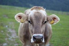 Mucca che pasce fotografia stock libera da diritti