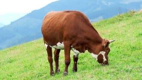 Mucca che pasce al prato di estate video d archivio