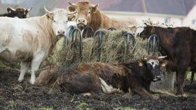 Mucca che pasce l'agricoltore di crisi della Francia Fotografie Stock