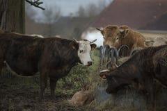 Mucca che pasce l'agricoltore di crisi della Francia Fotografia Stock Libera da Diritti
