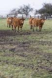 Mucca che pasce l'agricoltore di crisi della Francia Fotografia Stock