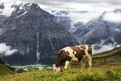 Mucca che pasce le alpi svizzere Fotografie Stock Libere da Diritti