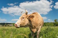 Mucca che pasce nel campo del villaggio Immagine Stock