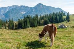 Mucca che pasce nelle alpi Fotografia Stock