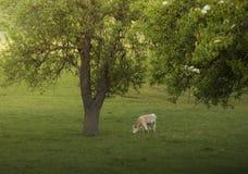Mucca che pasce sotto l'albero in primavera Fotografie Stock