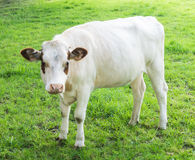 Mucca che pasce su un campo verde Fotografie Stock