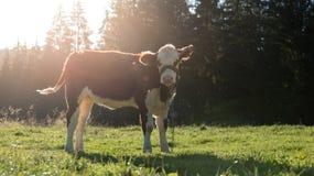 Mucca che pasce su un prato fotografie stock