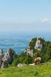 Mucca che pasce su un prato alpino Immagine Stock