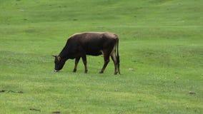 Mucca che pasce su un prato verde video d archivio