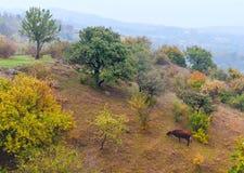 Mucca che pasce sui pendii della montagna Fotografia Stock