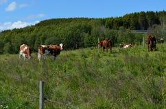 Mucca che pasce sul campo di estate Immagine Stock