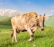 Mucca che pasce sul prato verde Fotografia Stock Libera da Diritti