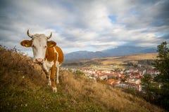 Mucca che pasce sulla collina Fotografia Stock Libera da Diritti