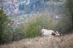 Mucca che pasce sulla collina Fotografia Stock
