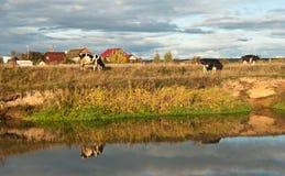 Mucca che pasce in un campo Fotografia Stock