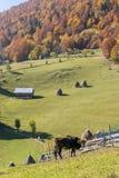 Mucca che pasce in un paesaggio di autunno della montagna Immagine Stock