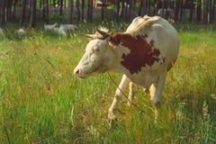 Mucca che pasce in un prato verde di estate Una mucca su un campo rurale verde Alimentazione e crescere del bestiame Animali da a fotografia stock libera da diritti