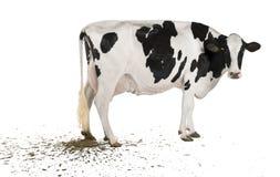 Mucca che pooping, 5 anni dell'Holstein Fotografia Stock