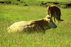 Mucca che riposa nel prato fotografia stock libera da diritti