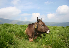 Mucca che riposa sull'erba Fotografia Stock