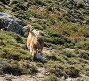 Mucca che sfrega la sua testa sul prato della montagna Fotografie Stock Libere da Diritti