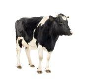 Mucca che si leva in piedi davanti alla priorità bassa bianca Immagine Stock