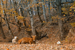 Mucca che si trova nella foresta di autunno Immagine Stock Libera da Diritti