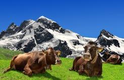 Mucca che si trova sul prato. Nei precedenti della B Immagini Stock