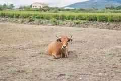 Mucca che si trova in un pascolo Fotografia Stock