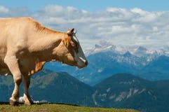 Mucca che trascura le regioni montagnose di alpi slovene Fotografie Stock Libere da Diritti