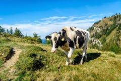 Mucca chiazzata il nero nelle alpi Fotografia Stock Libera da Diritti