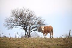 Mucca in collina Immagine Stock