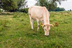 Mucca colorata beige che mangia erba Immagini Stock Libere da Diritti