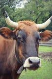 Mucca con i corni Fotografia Stock