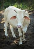 Mucca con i corni che stanno fissanti Fotografia Stock