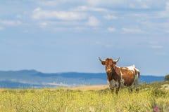 Mucca con i corni nel campo di estate con i fiori Fotografia Stock