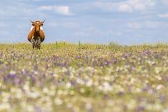Mucca con i corni nel campo di estate con i fiori Fotografia Stock Libera da Diritti