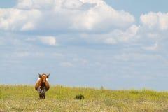 Mucca con i corni nel campo di estate con i fiori Fotografie Stock