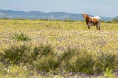 Mucca con i corni nel campo di estate con i fiori Fotografie Stock Libere da Diritti