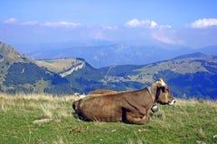 Mucca con il Cowbell Fotografia Stock Libera da Diritti
