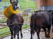 Mucca con il massaggio della spazzola Fotografia Stock Libera da Diritti
