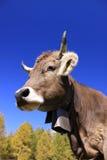 Mucca con il segnalatore acustico Fotografia Stock Libera da Diritti
